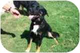 Labrador Retriever/Rottweiler Mix Dog for adoption in Pine Valley, California - Parker