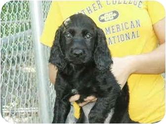 Labrador Retriever/Spaniel (Unknown Type) Mix Puppy for adoption in Mason City, Iowa - Ethan