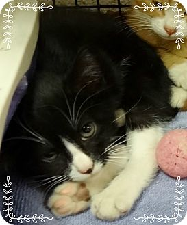 Domestic Shorthair Kitten for adoption in Marietta, Georgia - FLOYD