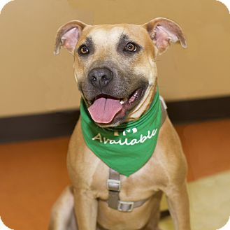 Black Mouth Cur/American Pit Bull Terrier Mix Dog for adoption in Baton Rouge, Louisiana - T-tee