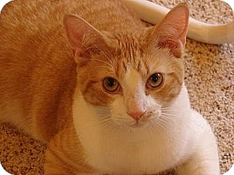 Domestic Shorthair Cat for adoption in Manhattan, New York - Tommy