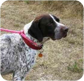 German Shorthaired Pointer Mix Dog for adoption in Walker, Michigan - Milo