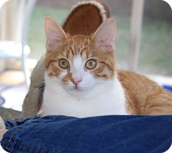 Domestic Shorthair Kitten for adoption in Chattanooga, Tennessee - Benji