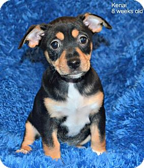 Chihuahua/Rottweiler Mix Dog for adoption in Yreka, California - Kenai