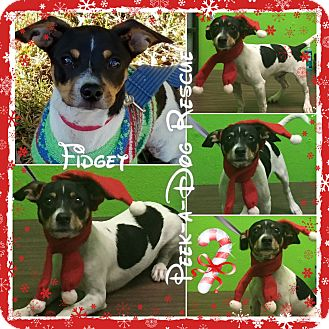 Rat Terrier/Jack Russell Terrier Mix Puppy for adoption in South Gate, California - Fidget