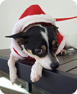Rat Terrier Mix Dog for adoption in Berkeley, California - Joe **URGENT**