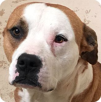 American Bulldog/Mixed Breed (Large) Mix Dog for adoption in Jackson, Georgia - Buckshot