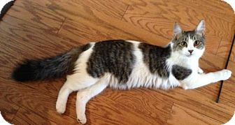 Maine Coon Cat for adoption in Lutherville, Maryland - Rufus