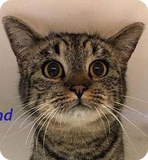 Domestic Shorthair Cat for adoption in Huachuca City, Arizona - Rosalind