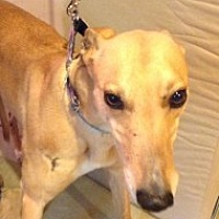 Adopt A Pet :: Coddia - Gerrardstown, WV