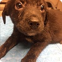 Adopt A Pet :: PJ - St. Louis, MO