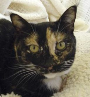 Domestic Shorthair/Domestic Shorthair Mix Cat for adoption in Mountain Center, California - Scarlet