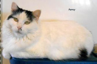 Domestic Shorthair/Domestic Shorthair Mix Cat for adoption in Oskaloosa, Iowa - Purrcy