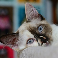 Adopt A Pet :: Purrsephone - Davis, CA