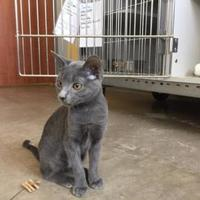 Adopt A Pet :: Ashes - Alpine, TX