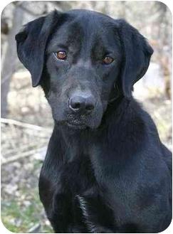 Labrador Retriever Mix Dog for adoption in Ladysmith, Wisconsin - Maxie