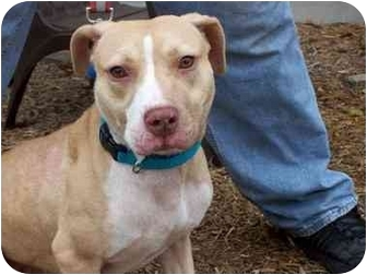 Pit Bull Terrier Mix Dog for adoption in Kingston, New York - Bella
