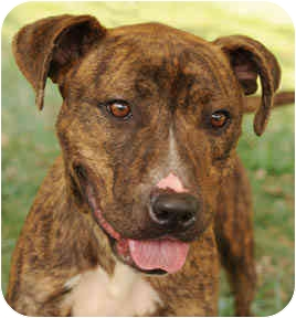 American Staffordshire Terrier Mix Dog for adoption in Chicago, Illinois - Molly