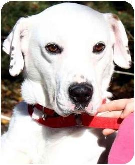 Dalmatian/Labrador Retriever Mix Dog for adoption in Pawling, New York - PEBBLES