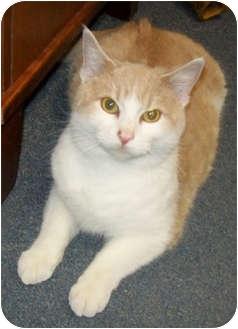 Domestic Shorthair Cat for adoption in Owatonna, Minnesota - Moe