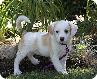 Terrier (Unknown Type, Small)/Beagle Mix Puppy for adoption in Newport Beach, California - HARLOW