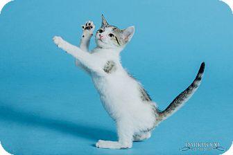 Domestic Shorthair Kitten for adoption in St. Louis, Missouri - Pfeffer