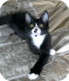 Domestic Shorthair Kitten for adoption in Homewood, Alabama - Magpie