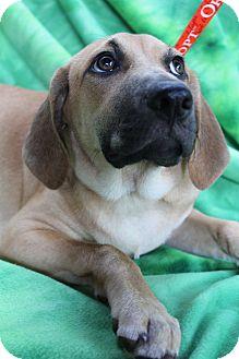 Labrador Retriever/Bloodhound Mix Puppy for adoption in Hamburg, Pennsylvania - Mazie