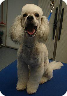 Poodle (Miniature) Mix Dog for adoption in Nuevo, California - Sheldon