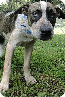 Catahoula Leopard Dog Mix Dog for adoption in Brooksville, Florida - 1024292