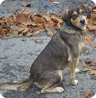 Beagle/Shepherd (Unknown Type) Mix Dog for adoption in Morgantown, West Virginia - BUDDY