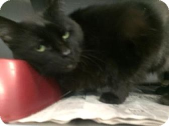 Domestic Shorthair Cat for adoption in Fort Smith, Arkansas - Izzy