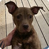 Adopt A Pet :: Maple - Raritan, NJ