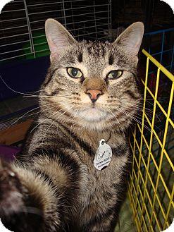 Domestic Shorthair Cat for adoption in Edmonton, Alberta - Kovu