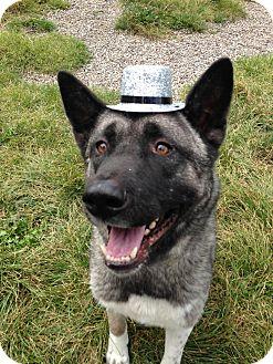 Akita Dog for adoption in Rochester/Buffalo, New York - Thor