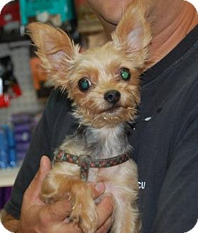 Yorkie, Yorkshire Terrier/Terrier (Unknown Type, Medium) Mix Dog for adoption in Brooklyn, New York - Dumbo