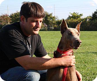 Doberman Pinscher Dog for adoption in Elyria, Ohio - Dozer