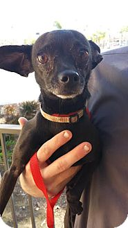 Chihuahua Dog for adoption in Westminster, California - Timothy