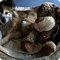 Adopt A Pet :: FOXIE - Mahopac, NY