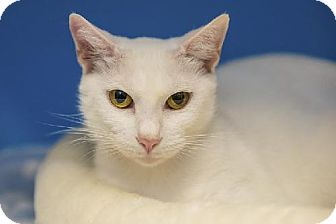 Domestic Shorthair Cat for adoption in Tallahassee, Florida - Eva
