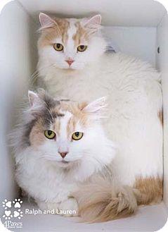 Maine Coon Cat for adoption in Merrifield, Virginia - Lauren