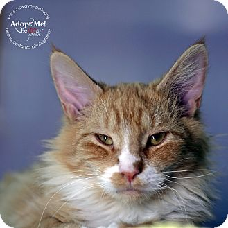 Domestic Mediumhair Cat for adoption in Lyons, New York - Rembrandt