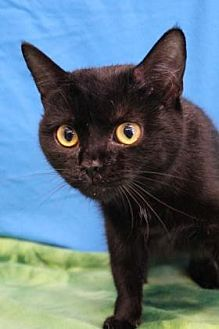 Domestic Shorthair Cat for adoption in South Bend, Indiana - Brunhild