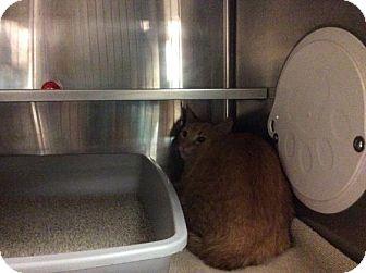 Domestic Shorthair Cat for adoption in Janesville, Wisconsin - Raklava
