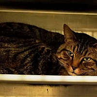 Domestic Shorthair Cat for adoption in Geneseo, Illinois - Lindor