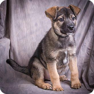 Shepherd (Unknown Type) Mix Puppy for adoption in Anna, Illinois - CAESAR