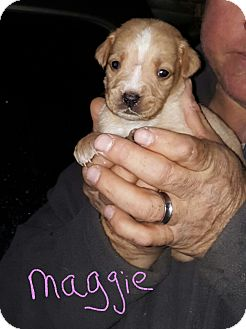 Labrador Retriever Mix Puppy for adoption in Burlington, Vermont - Maggie