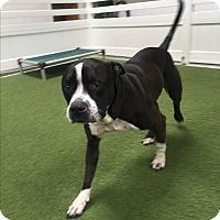 Adopt A Pet :: Melo - Santa Monica, CA