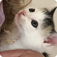 Adopt A Pet :: Callie BABY KITTEN! w/ Sister - Burbank, CA