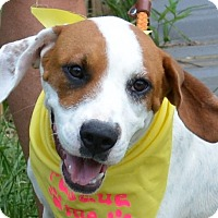 Hound (Unknown Type)/American Bulldog Mix Dog for adoption in Southbury, Connecticut - Maddie